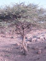 acacia_raddiana